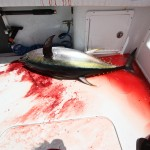 Tuna Fish in the Boat