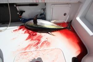 Tuna Fish in the Boat