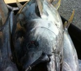 Huge Amberjack Fish