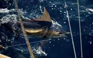 Catch Tuna Fish